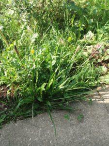 Plantago Lanceolata (Narrowleaf Plantain)